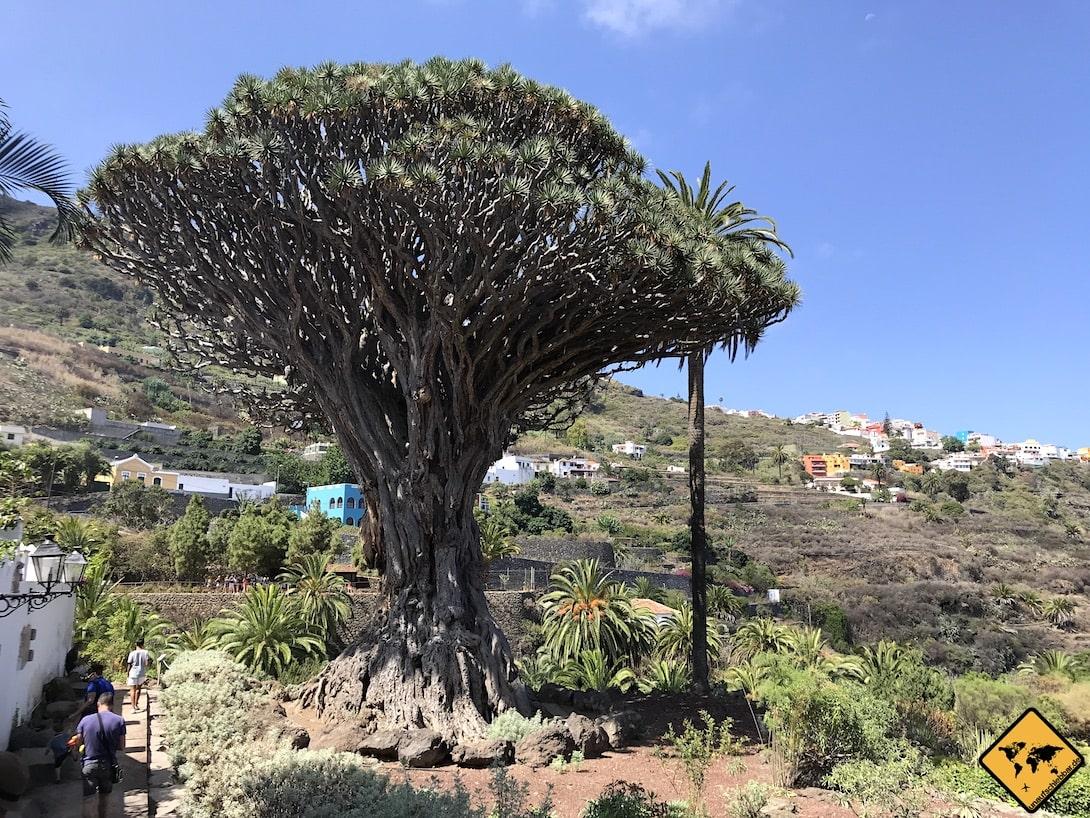 Teneriffa Drachenbaum Größe