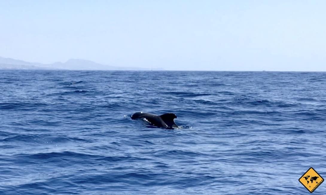 Beim Whale Watching auf Teneriffa siehst du vor allem Kurzflossen-Grindwale wie diesen