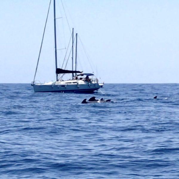 Die Teneriffa Wale schwimmen in der Regel gemeinsam in Herden