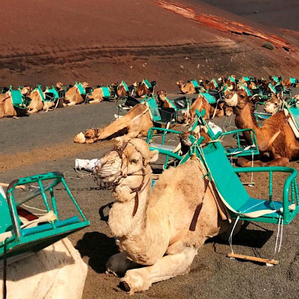Bei den Kamelen handelt es sich um einhöckrige Dromedare, die zu jeder Seite jeweils einen Sitz tragen