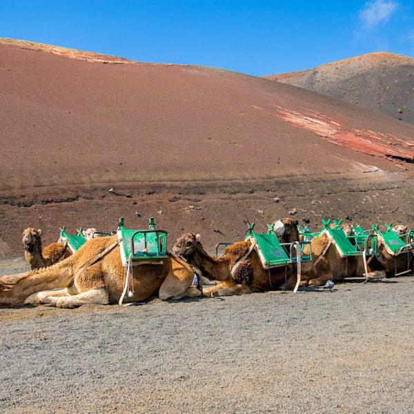 Timanfaya Nationalpark Kamelreiten