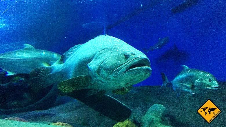 Underwater World Pattaya Fischriese