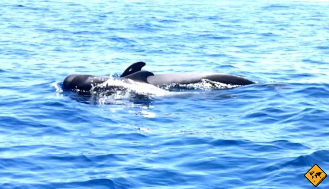 Die Grindwale schwimmen am liebsten gemeinsam durch den Atlantischen Ozean vor Teneriffa