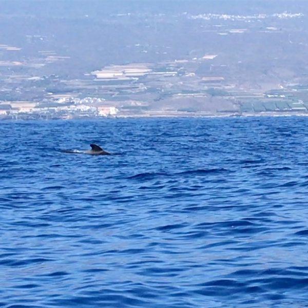 Walbeobachtung Teneriffa Delfine