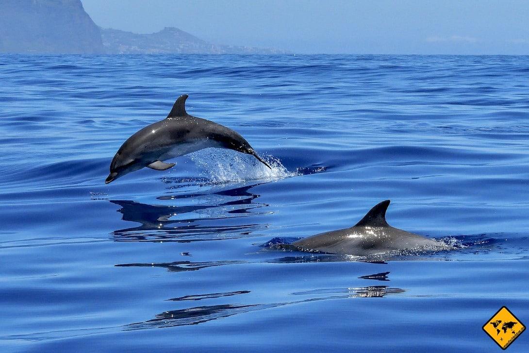 Bei einer Wale Watching Tour hast du eine 95%-ige Wahrscheinlichkeit, Grindwale und Delfine live im Meer schwimmen zu sehen