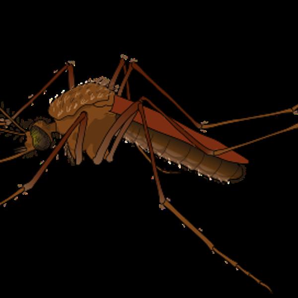 Weibliche Mücke