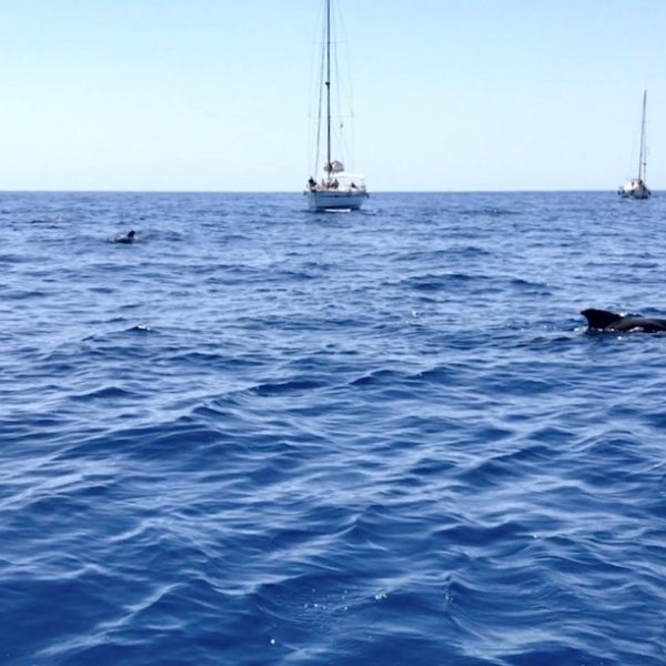 Whale Watching Teneriffa: Wie du hier sehen kannst, kommen die Grindwale sehr nah an die Boote heran