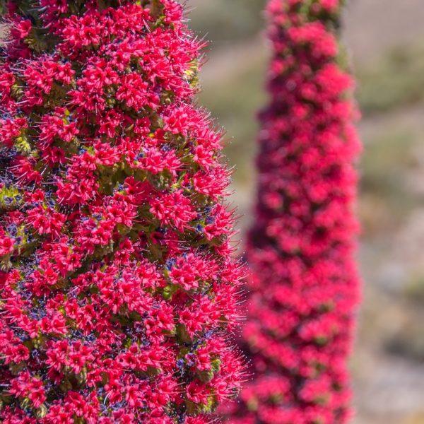 Wildprets Natterköpfe Teide Nationalpark Teneriffa