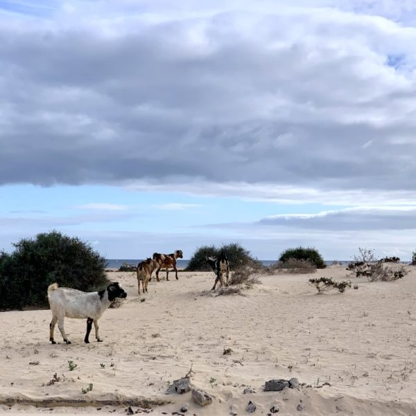 Ziegen Corralejo Naturpark Dünen